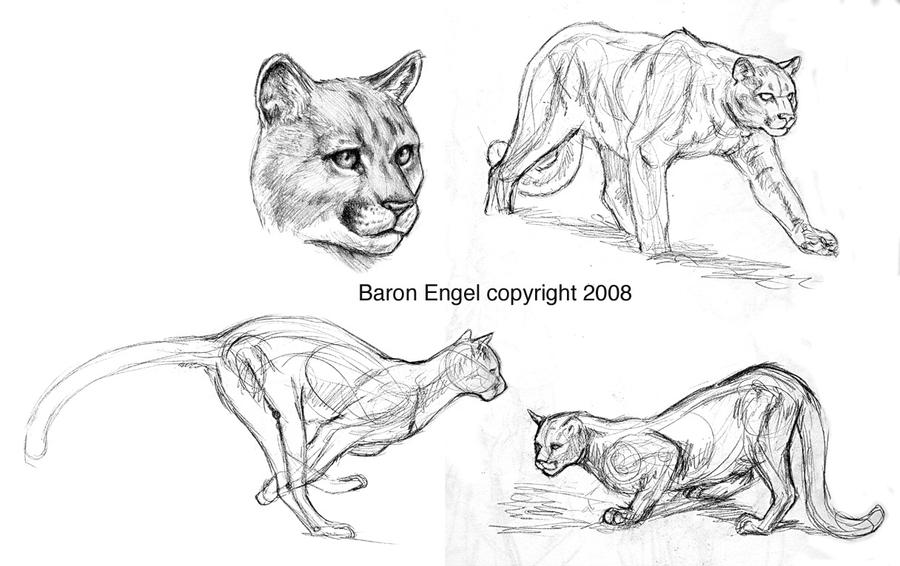 cougar sketches by baron engel on deviantart