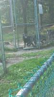 British Columbia Wolves