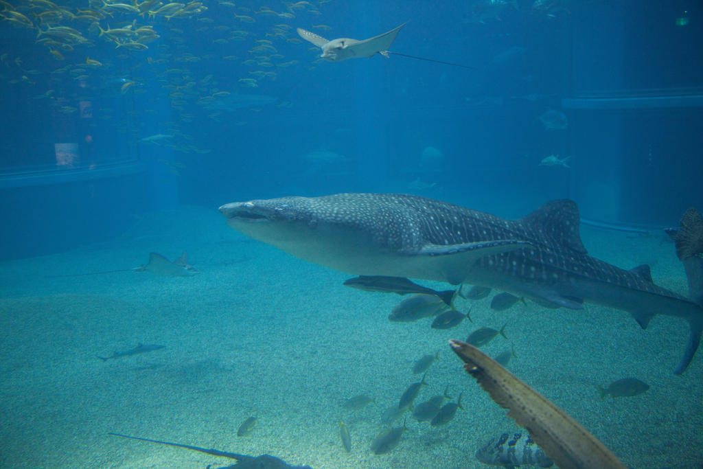Whale Shark by Quit007