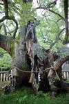 Old Camphor Tree
