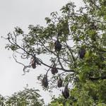 Sleepy Fruit Bats