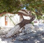 Orthodox Pine
