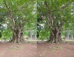 Bodhi Tree 3D