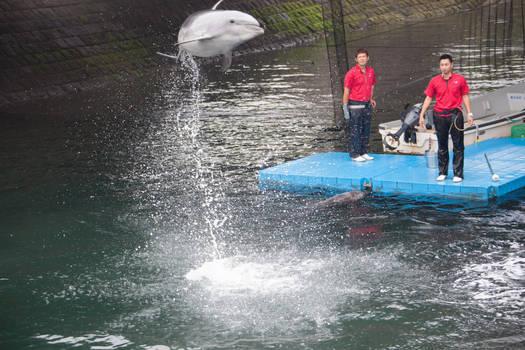 Flying Dolphin at 6 Feet