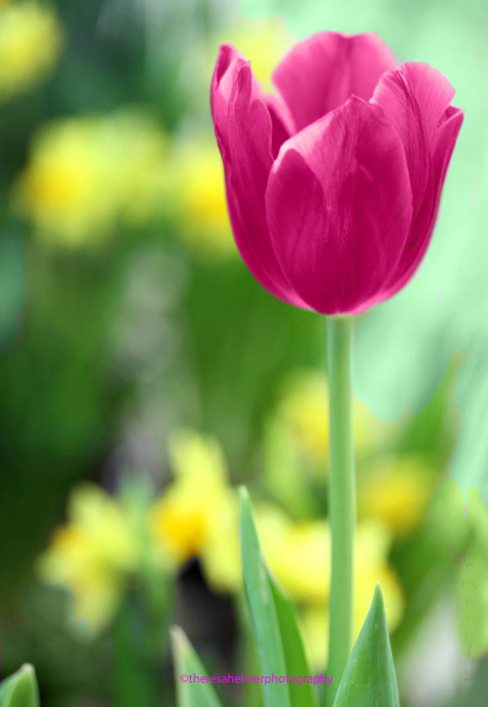 Garden Tulip by theresahelmer