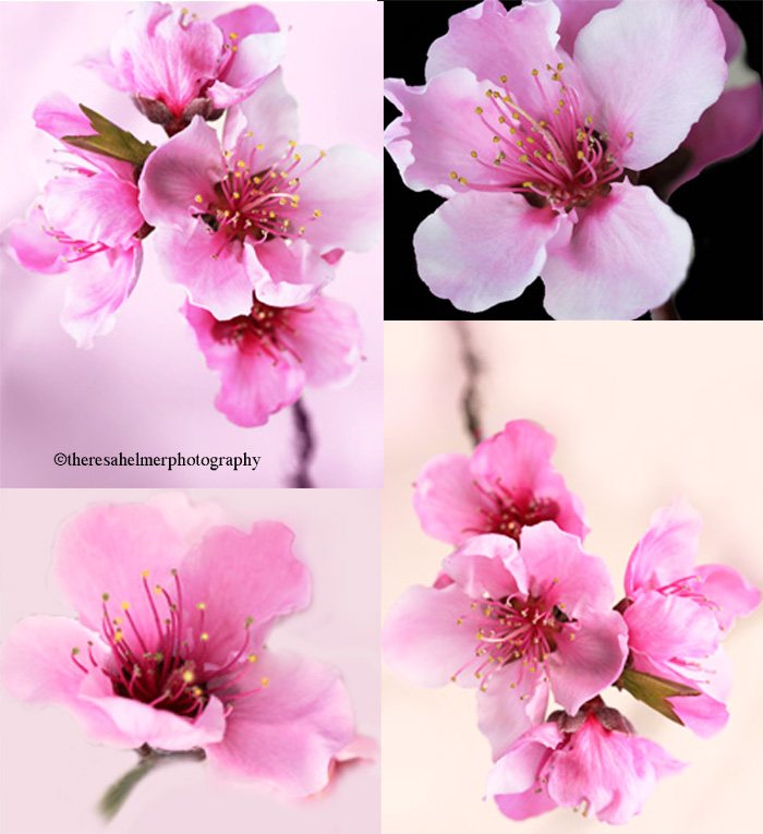 Peach Blossoms by theresahelmer