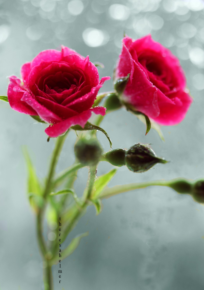 Little Pink Roses by theresahelmer