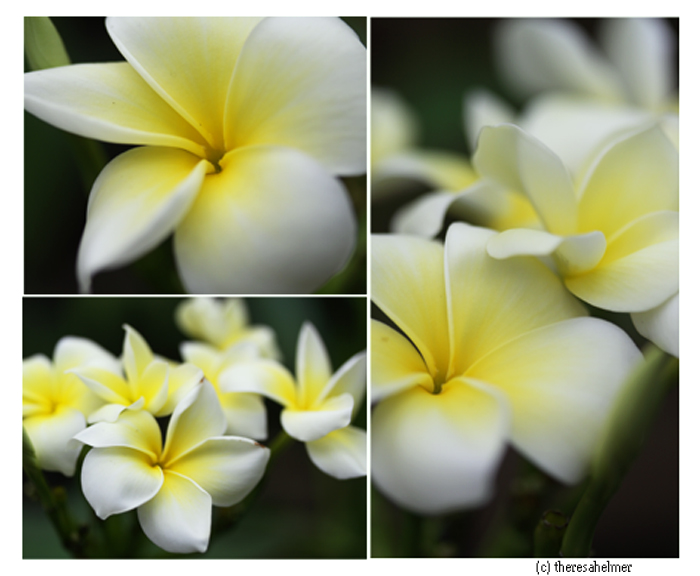 White Plumeria by theresahelmer