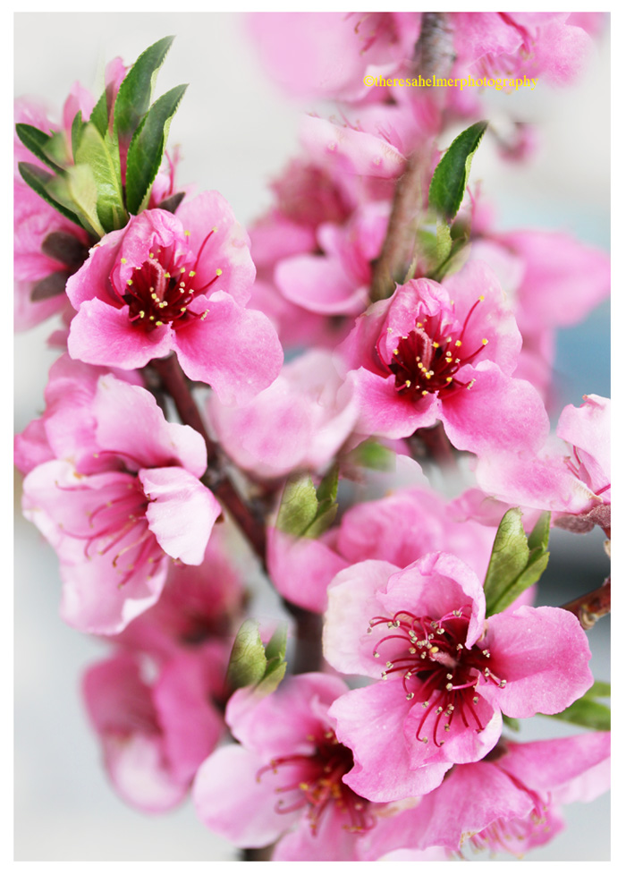 Peach Flower Blossom II by theresahelmer
