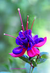 Garden Fuchsia