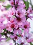 My Garden Peach Flowers