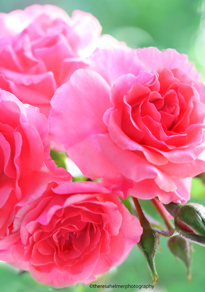 Beautiful Pink Roses From My Garden By Theresahelmer On