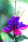 Beautiful Garden Fuchsia