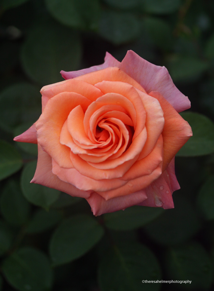 Beautiful Peachy-Lavender Rose (true colors) by theresahelmer