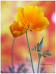California Golden Poppy by theresahelmer