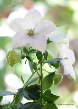 Garden White Balloon Flower