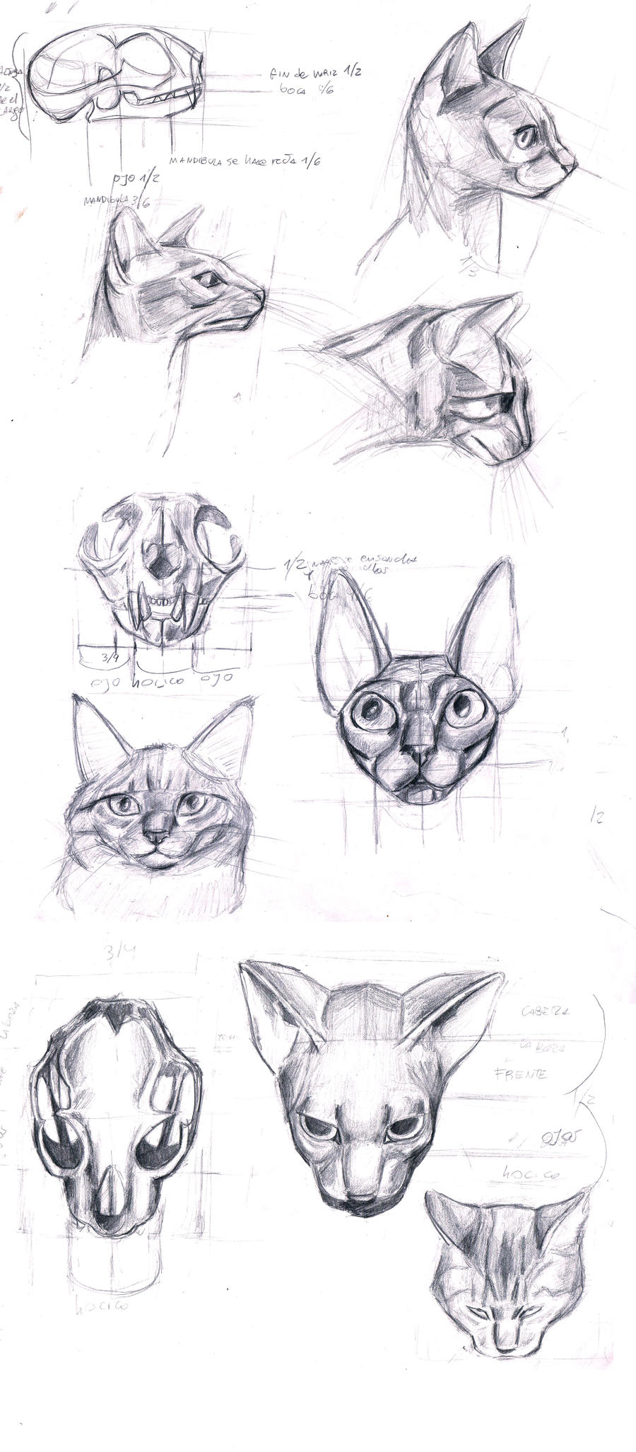 anatomy of the cat\'s head by sofmer on DeviantArt