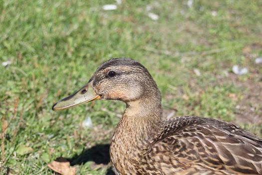 Female Mallard - 'Wild Duck'