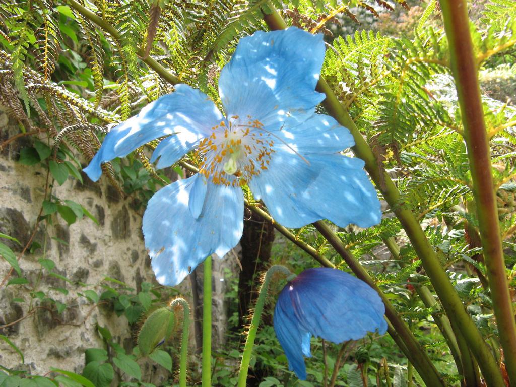 Himalayan blue poppy by vinny53