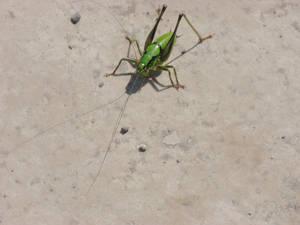Corfu Bug