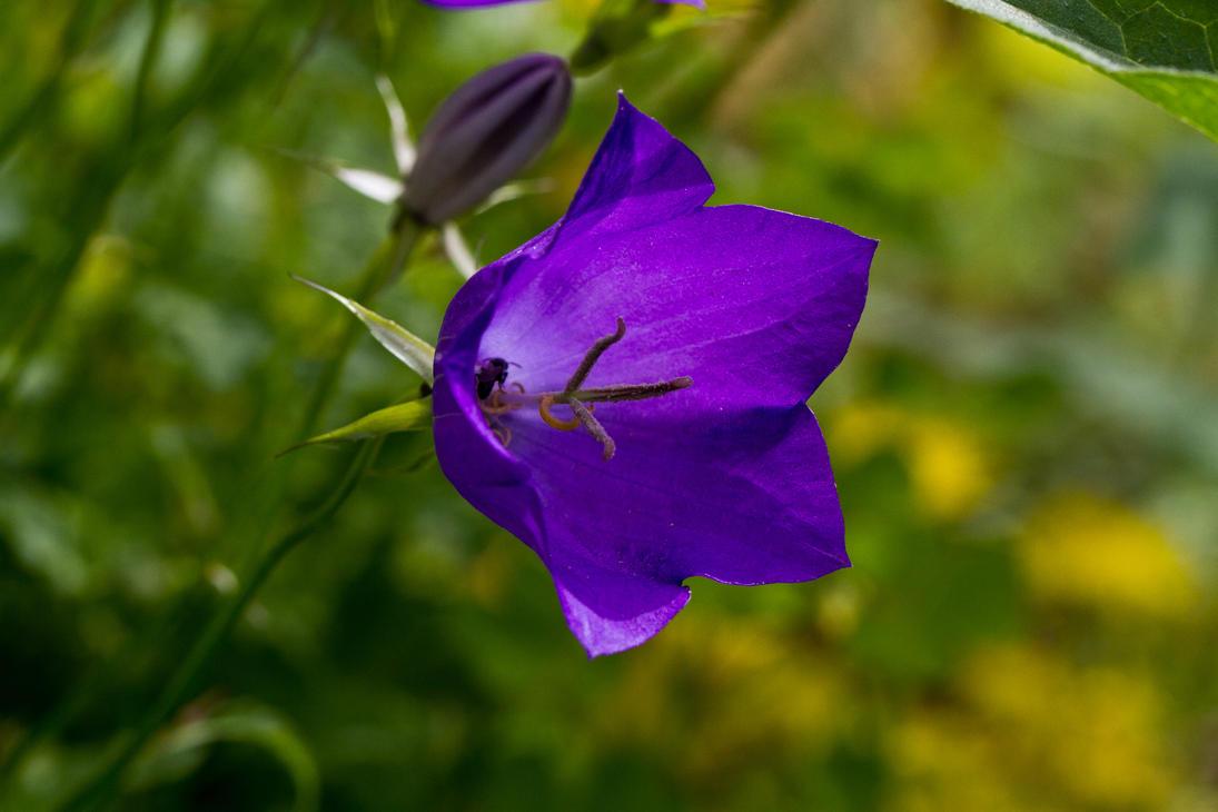 Lannas purple bell flower by kenjis9965 on deviantart lannas purple bell flower by kenjis9965 mightylinksfo