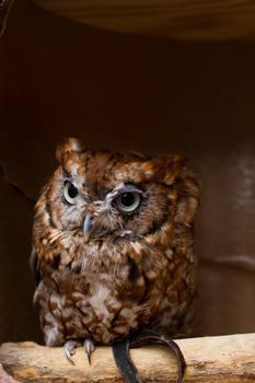Look an Owl