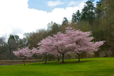 Family of Cherry Blossoms by wishez