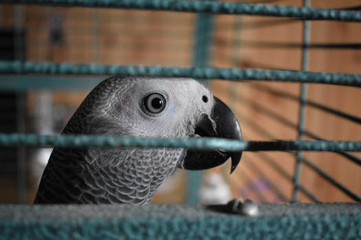 Photo sesion with my african grey #2