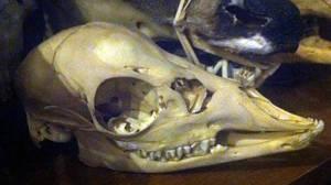 Whitetail Fawn Skull