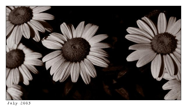 daisies in black and white by stillpretty on deviantart
