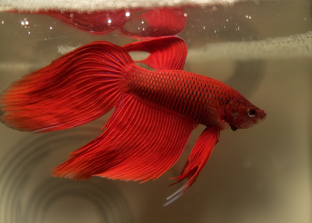 How do i know if i have a male or female betta fish and for What can you feed betta fish