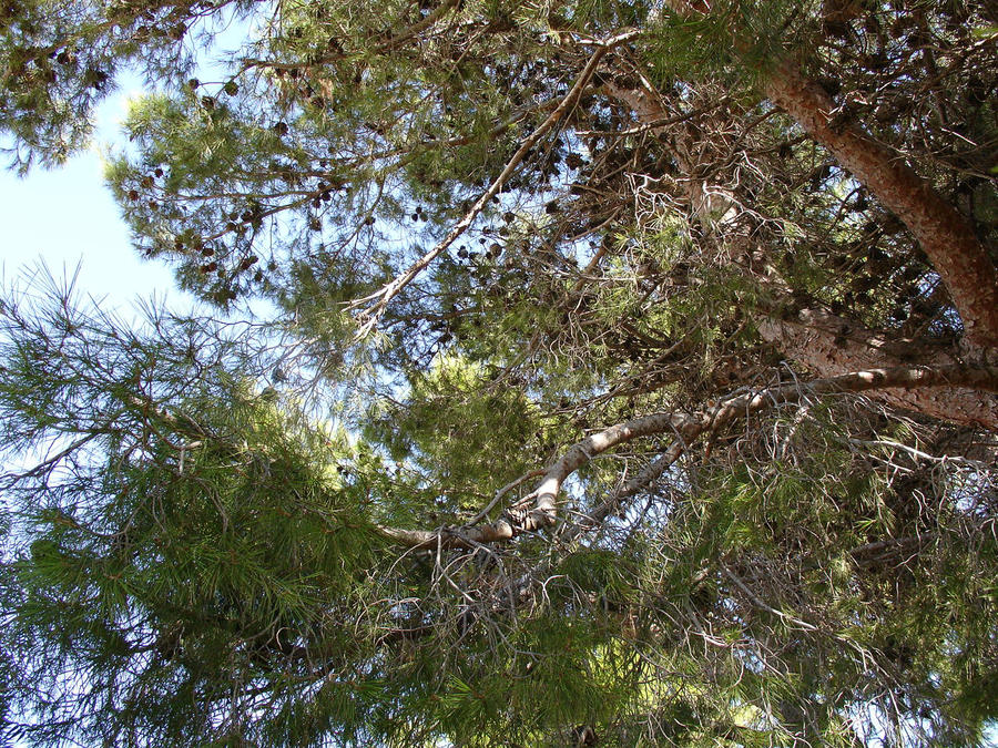 Pine Tree 1 by cazcastalla