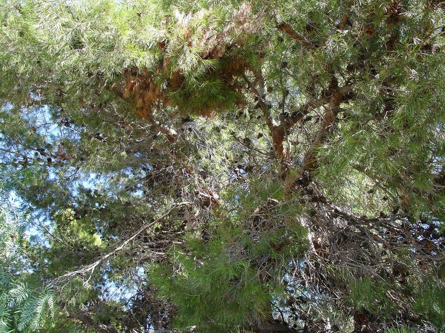 Pine Tree 2 by cazcastalla