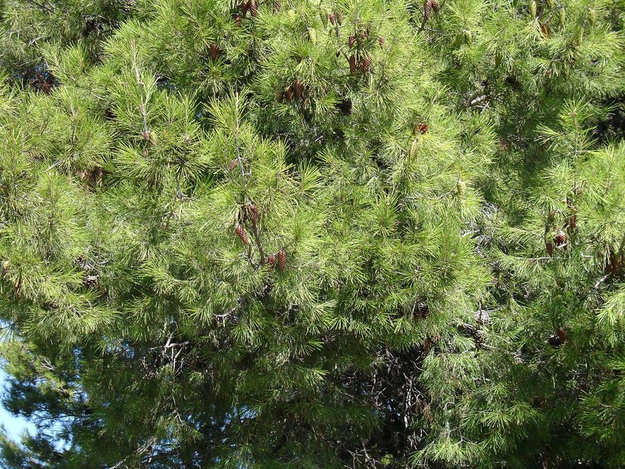 Pine Tree 3 by cazcastalla