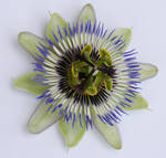 Passionflower 2