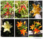 stock pack_lilies