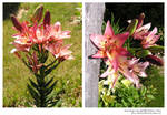 stock 725: pink lilies