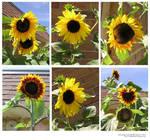 stock pack_sunflowers