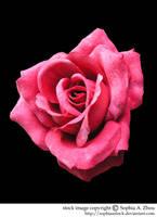 stock 523: rose by sophiaastock