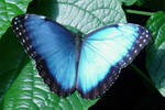 Common Blue Morpho by Daniel-Storm