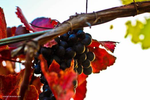 Grapes of Lower Austria