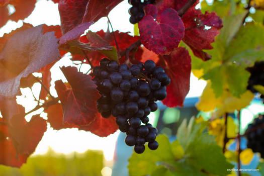 Grapes of Lower Austria (Zweigelt)