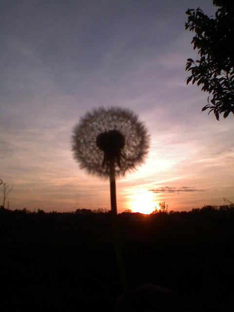 Dandelion on sun