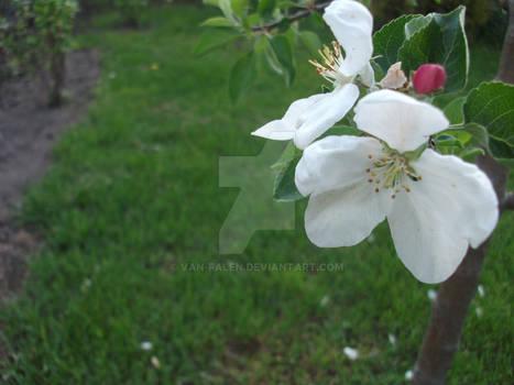 Jabloni kwiat
