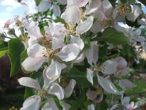Jabloni kwiat 2