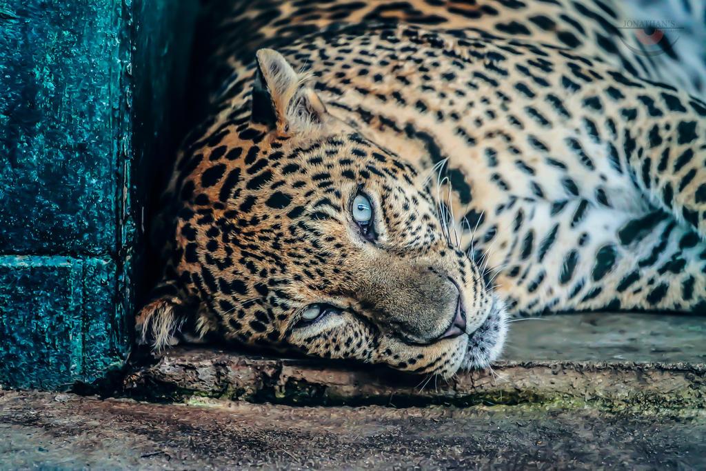 Leopard by llllollll