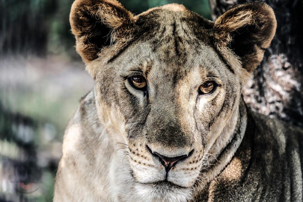 Lion by llllollll