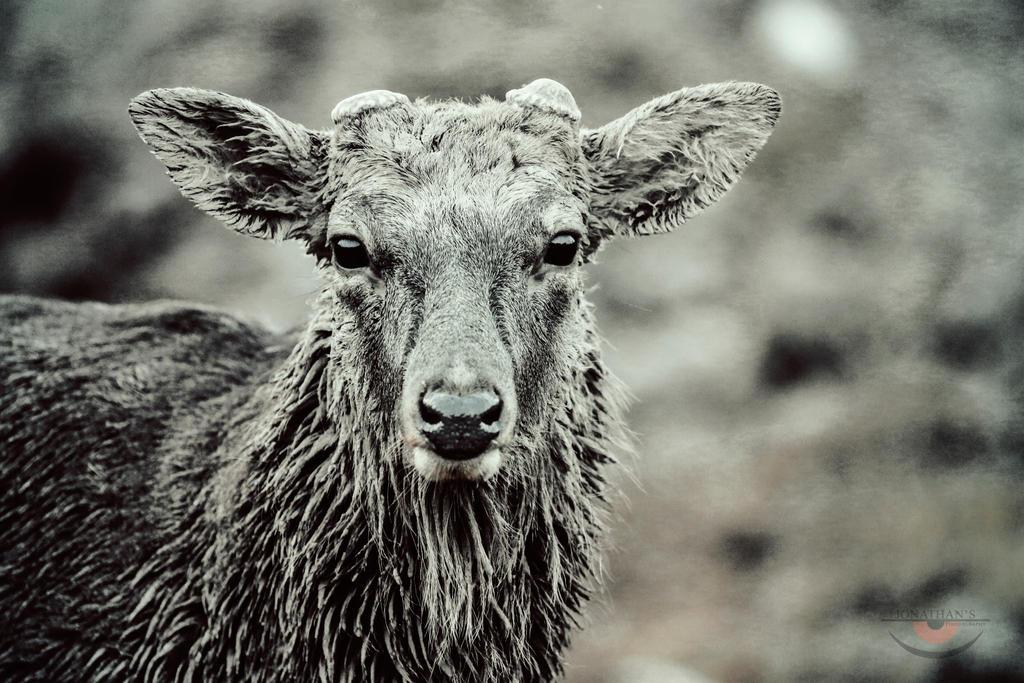 Deer by llllollll