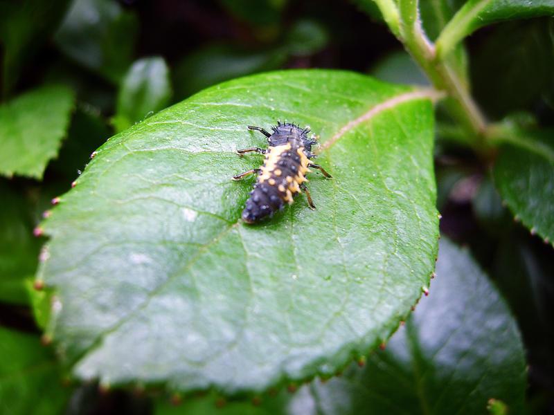 Ladybug Larvae by NinsPhotos