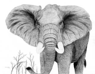 Elephant Bull by Degilwen